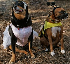 PICT1620e (Dumont_) Tags: halloween rottweiler boxer dogs