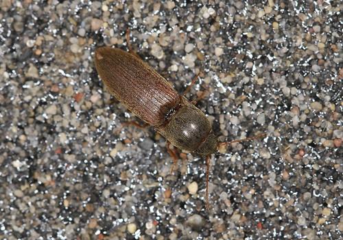 Click Beetle -  Agriotes acuminatus