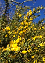 February Gorse (JulieK (thanks for 8 million views)) Tags: gorse flower spring yellow bluesky iphone5 2017onephotoeachday wexford ireland irish flora plant februarygorse