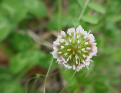 Clover blossom, partially open (Monceau) Tags: clover blossom partly open macro pink green flower