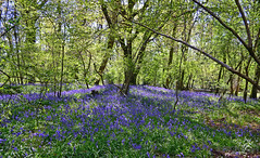 Beautiful Bluebells (Sharon Dow Photography) Tags: wood uk flowers blue flower beautiful woodland sussex woods flora nikon westsussex south flowering southeast wildflower bluebell scented bluebellwoods childhoodmemories southernengland sce thakeham d3100 sharondowphotography