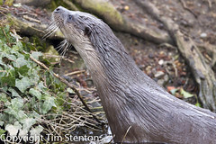 European Otter (Lutra lutra) 28 Mar-13-42778 (tim stenton www.TimtheWhale.com) Tags: winter wild england mammal tim norfolk otter thetford mustelid lutralutra commonotter notcaptive lutrinae europeanotter landmammal eurasianotter timstenton