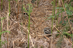 The art of camouflage (SteveJM2009) Tags: caprimulguseuropaeus nightjar camouflage hiding hidden still resting sleeping asleep plumage eye bracken woodland woods brownseaisland dorsetwildlifetrust dwt brownsea poole dorset uk spring may 2013 stevemaskell 21 hiddenorconcealed 113in2013