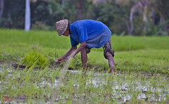 Rice farmer #5 (Ausamah) Tags: old travel sky bali woman man reflection green art love water girl beautiful field indonesia temple photography bahrain paradise child gulf rice julia farmers terrace farm pray grow scene arabic eat national arab roberts arabian agriculture hindu indonesian geographic peasant balinese ausamah alabsi