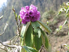 Rhododendron niveum, second stop, Lachung to Yumthang, Sikkim, 3rd May 2007 (jrcollman) Tags: plants india places rhododendron archived importedtags rplant rhododendronniveum lachungtoyumthang cardqualfromverbatum sikkimdendrobiumnobileistheofficialflowerofsikkim