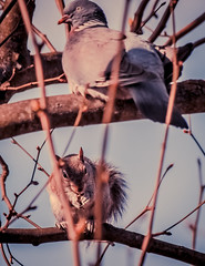 My neighbour has odd habits (The Danish Girl) Tags: friends england tree bird nature animal canon garden squirrel eating pigeon wildlife neighbour twosome nationalgeorgraphic eos500d