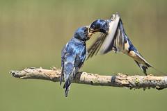 Rondine che imbecca il suo piccolo (d.carradori) Tags: beautiful natura uccelli atmosfera danilo rondini rondine fotoclub eliteimages fotoclubilbacchino carradori