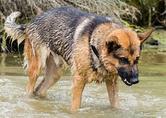 Branko Swims 2013-06-07-9 (falon_167) Tags: dog shepherd german gsd germanshepherddog branko