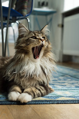 Yawning Cat (william.petersen) Tags: animal cat yawn mainecoon