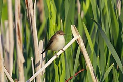 Reed warbler, Upton Warren (Muntjac 1) Tags: bird birds uptonwarren