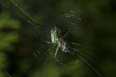 Spider eating series 25 (Richard Ricciardi) Tags: spider eating web spinne araa  araigne ragno timeseries     gagamba    nhn  spidertimeseries