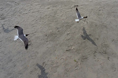 Brothers Vacation Day 5 (7/27/2013) - 43 (nomad7674) Tags: new shadow sea vacation seagulls bird beach birds brothers seagull gull north nj july saturday shore jersey boardwalk wildwood jerseyshore 2013 brosv brothersvacation 20130727