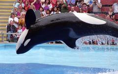 SeaWorld (Tejas Cowboy) Tags: park people water san 1993 killer theme whale orca antonio seaworld 1990s 90s