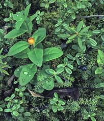 forest floor (Rebecca Tifft) Tags: plants green alaska berries vegetation denali forests denalinationalpark
