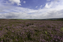 Glorious Purple (sparkione) Tags: summer purple heather sheffield