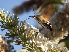 P8300903 (turbok) Tags: insekten schmetterlinge taubenschwänzchen tiere c kurt krimberger