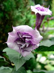 Devil's Trumpet (Eddie C3) Tags: newyorkcity flowers nature bronx datura newyorkbotanicalgarden medicinalplants wildmedicine nikond800e