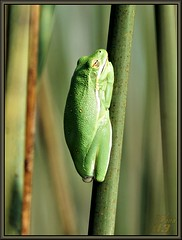 Mr. Green Genes (WanaM3) Tags: green nature reeds texas wildlife frog bayou pasadena canoeing paddling treefrog horsepenbayou sonya77 wanam3