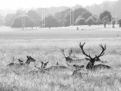 Deer, Richmond Park (cybertect) Tags: park blackandwhite monochrome sunshine deer richmondpark canonfd135mmf28 panasonicg2