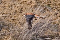 032034-IMG_6507 American Kestrel (Falco sparverius) (ajmatthehiddenhouse) Tags: usa bird colorado americankestrel falco falcosparverius sparverius 2013