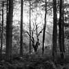 Red Quar Forest II (Adam Clutterbuck) Tags: uk greatbritain trees red england blackandwhite bw tree monochrome forest square landscape mono blackwhite woods unitedkingdom britain somerset bn elements plantation gb bandw sq mendip mendips 500x500 greengage quar adamclutterbuck sqbw bwsq showinrecentset