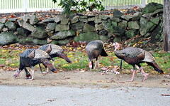 New England Turkeys (BlueisCoool) Tags: nature birds outdoors photography photo flickr foto image massachusetts sony picture newengland cybershot turkeys capture wildturkeys gobblegobblegobble plainvillema dscw300
