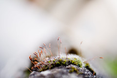 Close-up of moss sprouts (Ivan Radic) Tags: nikonv1 nikkor185mmf18 nikon185mmf18 18518 185f18 marumi5 marumidhg200 macro blurrybackground bokeh verschwommenerhintergrund unscharferhintergrund wideopenaperture offenblende offeneblende closeup mosssprouts moss sprouts nahaufnahme moos sprossen schösslinge makro magnification vergröserung explore explored achromaticlens achromat closeuplens nahlinse nikon1v1 nikon csc evil ilc mirrorless spiegellos systemkamera systemcamera nikon1nikkor185mmf18 standardprime normalbrennweite primelens festbrennweite fixbrennweite fixfocallength