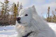 Kody (nwtarcticrose) Tags: winter dog dogs samoyed hund quinn hunde kody whitedogs dogsinsnow samoyeds samoyedo samojed nikond90