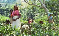 010 Slides-Sri Lanka3 (Phytophot) Tags: happy 1981 tea teapickers srilanka kandy hill farm working farming smiling portrait landscape trees joyful life matale teafarming community mother