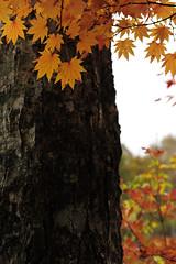 20131102 Okumikawa 3 (BONGURI) Tags: nikon autumncolors highland   aichi autumntint   chausuyama   d3s afszoomnikkor2470mmf28ged toyone   chausuyamahighland  kitashitara northshitara