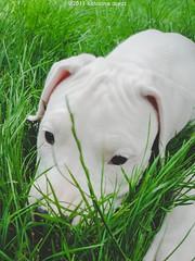 Little Evi :) (Katarina Drezga) Tags: dog pet pets dogs nature puppy perro perros pas dogphotography petphotography dogoargentino nikond3100