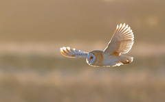 Barn owl side lit (den9112) Tags: