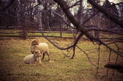 sheep with branches (Jen MacNeill) Tags: history animals museum rural sheep pennsylvania farm tunis pa pasture lancaster lancastercounty landisvalley jennifermacneilltraylor jmacneilltraylor jennifermacneill jennifermacneillphotography
