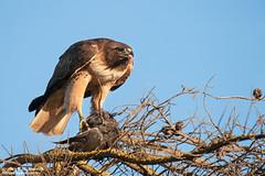 Red-tailed Hawk with prey (Bob Stronck) Tags: raptor avian redtailedhawk buteojamaicensis mountainviewca shorelineparklake stronckphotocom birdsofsanfranciscobay ©2013rmstronck