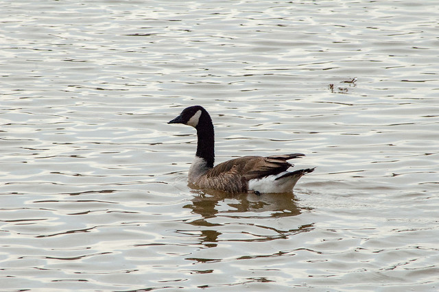Griffy Lake - Canada Goose - December 30, 2013