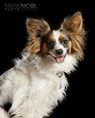 Papillon 2 (Mark Nicol Photography) Tags: portrait dog cute canon studio ears canine papillon 70200f4is 5dii