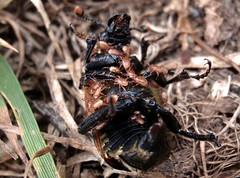 Parasitos (Poecilochirus) sobre escarabajo enterrador (Nicrophorus) (jacilluch) Tags: asturias mites animalia arthropoda coleoptera insecta hexapoda interruptus silphidae nicrophorus polyphaga bandedsextonbeetle gamasus specinsect acaros staphylinoidea staphyliniformia buryingbeetles poecilochirus sextonbeetles nicrophorinae nicrophorusvespillo escarabajosenterradores nicrophorusinterruptusstephens1830254344