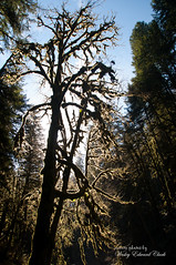 Back lit tree I_edited-1 (Photos by Wesley Edward Clark) Tags: trees oregon silverton molalla scottsmills abiquacreek abiquafalls
