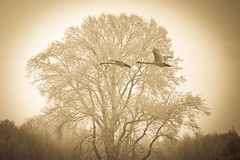 Swans in sepia (Buecherkoenig) Tags: trees tree nature birds animal sepia germany deutschland nikon natur monochrom bume baum d90 saxonyanhalt sachsenanhalt nikond90 mygearandme mygearandmepremium mygearandmebronze mygearandmesilver mygearandmegold mygearandmeplatinum mygearandmediamond