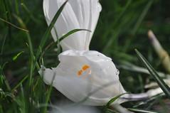 Pavilion_Gardens_0070 (Peter-Williams) Tags: uk flowers garden sussex countryside brighton crocus daffodil parkland carmelia paviliongardens