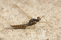 Little Mayfly (Moneycue) Tags: brown black macro nature netherlands closeup insect march spring ground mayfly ephemeroptera pterygota insectphotography canonmpe65 canoneos5dmarkiii ephemeropteroidea moneycue moniquevansomeren