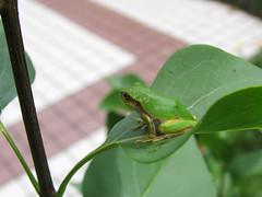 (Yorozuna / ) Tags: amphibian frog treefrog     japanesetreefrog
