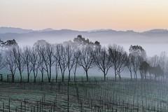 The Start of a New Day (**El-Len**) Tags: california trees winter usa fog sunrise dawn us vineyard fav50 gettyimages fav10 fav25 flickrmarketplace