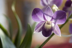 orchid (Beatrix Abiwu) Tags: orchid flower colors beautiful sunshine canon spring amazing purple shot image picture awsome getty capture