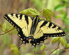 fresh Tiger swallowtail in the woods (Vicki's Nature) Tags: new male green leaves yellow canon butterfly georgia woods stripes ngc young fresh diagonal npc sweep easterntigerswallowtail s5 biello bigmomma gamewinner 6714 touchofred touchofblue vickisnature touchofblack gamesweep storybookwinner storybookttw gamespring pregamewinner pregamesweepwinner storybookttwwinner pregameshallowdof pregamesweepduel pregameduelwinner gamegamex2 pregameyellow motheranythingwmedal readygrandmother readygamex2 readymonthlybeanstalkclimboff storybookanything newlyeclosed storybooklast10uploads storybookttwsweep motheryellow1st gamegamex2x3verytough