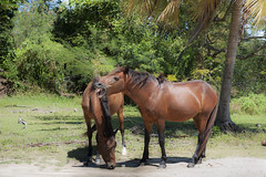 Two horses in the wild in Vieques, Puerto Rico (jackie weisberg) Tags: vacation horses horse tourism island countryside puertorico country tourists tropicalisland destination vieques tropics wildhorses jackieweisberg