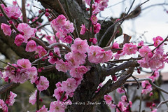 Aodani Bairin () Matsuri 2014 in Joyo City! (KyotoDreamTrips) Tags: japan kyoto ume plumblossomfestival  aodanibairin joyocity