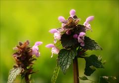 Happy Sunday ! (Explore #447 22/03/2014) (Simply Viola) Tags: primavera nature spring natura wildflowers fioriselvatici mygearandme mygearandmepremium mygearandmebronze