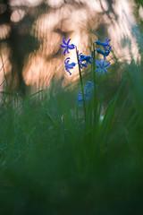 20140330-DSC_0552 (Melman Alexander) Tags: macro nikon sonnenuntergang natur blumen gras grn blau blte wald heide uelzen niedersachsen d600 sonnenlicht lneburger 50mm18g