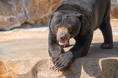 Posing (dbushue) Tags: bear zoo nikon wildlife stlouis missouri stlouiszoo captive 2014 malayansunbear specanimal dailynaturetnc13 photoofthedaynwf13 dailynaturetnc14 photoofthedaynwf14